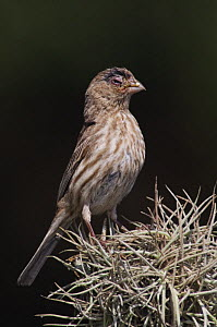 House Finch {Carpodacus mexicanus} female suffering from House Finch Disease (mycoplasmal conjunctivitis), Hill Country, Texas, USA, April 2007  -  Rolf Nussbaumer