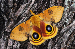 Io Moth {Automeris io} male on Mesquite Tree Bark in defensive pose, Rio Grande Valley, Texas, USA, April - Rolf Nussbaumer