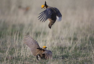 Lesser Prairie-Chicken {Tympanuchus pallidicinctus} males fighting, Panhandle, Texas, USA, February  -  Rolf Nussbaumer