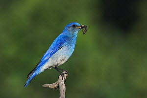 Mountain Bluebird {Sialia currucoides} adult male with prey, Rocky Mountain National Park, Colorado, USA, June  -  Rolf Nussbaumer