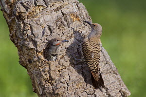 Northern Flicker {Colaptes auratus} Red-shafted form, female feeding young at nest hole, Rocky Mountain National Park, Colorado, USA, June  -  Rolf Nussbaumer