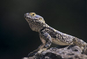 Starred Agama {Agama stellio stellio} adult on rock wall, Samos, Greek Island, Greece, April  -  Rolf Nussbaumer