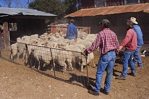 Workers herding Domestic sheep into shearing pens, Hill Country, Texas, USA, April 2007 - Rolf Nussbaumer
