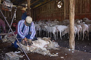 Worker shearing Sheep with shorn flock behind, Hill Country, Texas, USA, April 2007  -  Rolf Nussbaumer