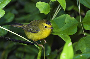 Wilson's Warbler {Cardellina pusilla} young male, Texas, USA, September  -  Rolf Nussbaumer