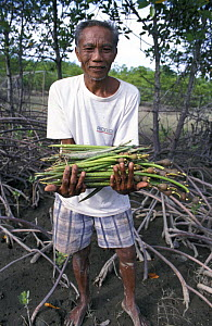 Villager collects propagules for planting new mangroves, Panay, Aklan, Philippines  -  Jurgen Freund
