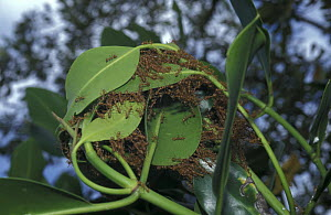 Fire / Red ants {Solenopsis sp} build nest with mangrove tree leaves, Philippines - Jurgen Freund