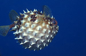 Orbicular burrfish / Pufferfish (Cyclichthys orbicularis) inflated for defense, Indo-Pacific  -  Jurgen Freund