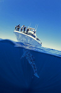 Split level of whale shark {Rhincodon typus} and tourist boat, Ningaloo Reef, Western Australia - Jurgen Freund