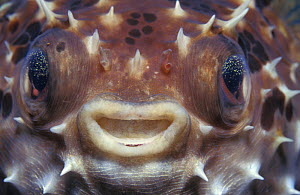 Close up of face of inflated pufferfish {Arothron sp}, Indo-Pacific - Jurgen Freund
