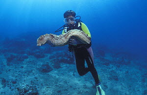 Diver with Giant sea cucumber {Thelenota anax} Sulawesi, Indonesia, Indo-pacific - Jurgen Freund