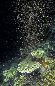 Coral spawning in the Great Barrier Reef happens every year in November  3 - 5 days after full moon,  Great Barrier Reef, Queensland, Australia  -  Jurgen Freund