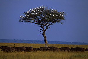 Little egrets {Egretta garzetta} perched in tree with herd of Buffalo passing below, East Africa - Anup Shah