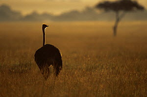 Ostrich {Struthio camelus} on savanna at dawn, East Africa - Anup Shah