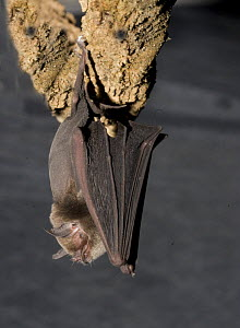 Naked backed Bat (Pteronotus davyi) hanging from rock, Neuvo Leon, Mexico  -  Barry Mansell