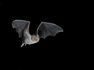 Common Vampire Bat (Desmodus rotundus) in flight, Mexico - Barry Mansell