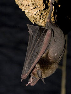 Naked Backed Bat (Pteronotus davyi) roosting, Nuevo Leon, Mexico  -  Barry Mansell