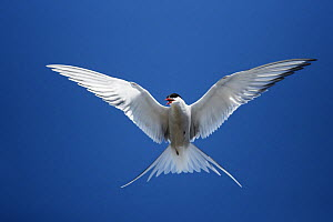 Arctic tern (Sterna paradisaea) in flight, UK. Arctic terns migrate annually a marathon distance of 7,200 miles  -  Steve Knell
