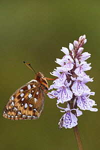 Dark green fritillary butterfly (Argynnis aglaja) on a spotted orchid flower, UK  -  Steve Knell