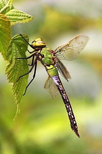 Emperor dragonfly (Anax imperator) male on bramble leaf in July, Yorkshire, UK  -  Steve Knell