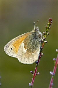 Large Heath butterfly (Coenonympha tullia) on heather, Glen Affric, Scotland - STEVE KNELL