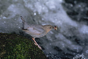American dipper {Cinclus mexicanus} carrying water insect prey for chicks, Colorado, USA  -  Shattil & Rozinski