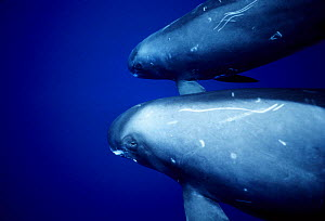 Pygmy Killer Whales (Feresa attenuata) with scarring / markings on skin, Pacific  -  DOC WHITE