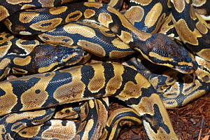 Ball pythons {Python regius} coiled mass of hatchlings, captive, occrus West and Central Africa  -  Tony Phelps