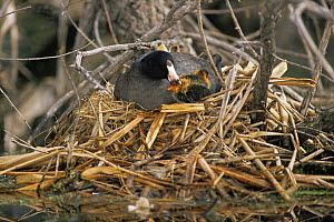 American coot {Fulica americana} adult preventing chick from straying from nest, Colorado, USA  -  Shattil & Rozinski
