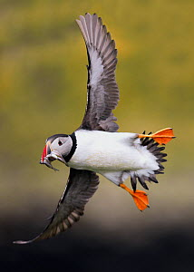 Puffin (Fratercula arctica) in flight, carrying sandeels. Inner Hebrides, Scotland. July - STEVE KNELL