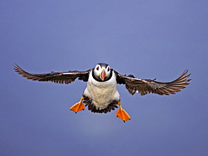 Puffin (Fratercula arctica) in flight, coming in to land. Inner Hebrides, Scotland. July - STEVE KNELL