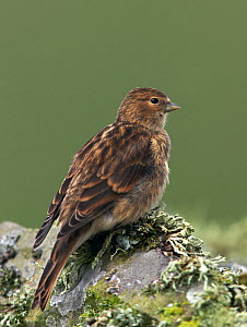 Twite (Acanthis flavirostris) female on lichen-covered wall. Shetland Isles, Scotland, July  -  Steve Knell