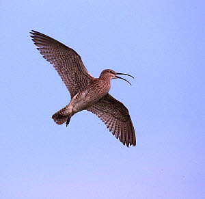 Whimbrel (Numenius phaeopus) in flight, calling. Shetland Isles, Scotland, July - STEVE KNELL