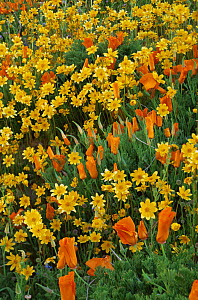 {Coreopsis sp} flowers and California poppy {Eschscholzia californica} flowers in mixed wildflower meadow, California, USA 1995 - Shattil & Rozinski