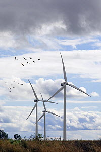 Flock of Common Crane (Grus grus) flying over wind turbines on migration in Poland. Wind farm.  -  David Kjaer