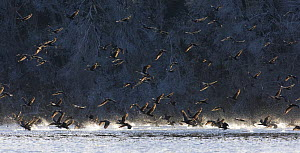 Flock of Cormorant (Phalacrocorax carbo) leaving roost, Poland  -  David Kjaer