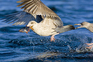Herring Gull (Larus argentatus) immature taking fish (Roach) in flight from water, Poland - David Kjaer