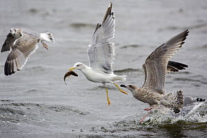Yellow-legged Gull (Larus cachinnans) & two Juvenile Herring Gull (Larus argentatus) catching fish and fighting, Poland  -  David Kjaer