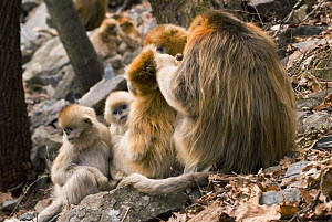 Sichuan golden snub nosed monkeys {Rhinopithecus roxellana} family group grooming, Zhouzhe reserve, Qinling mountains, China, December 06. 'Wild China' series  -  Gavin Maxwell