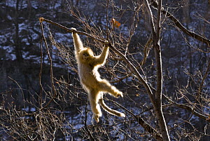 Sichuan golden snub nosed monkey {Rhinopithecus roxellana} hanging from branch, Zhouzhe reserve, Qinling mountains, China, December 06. 'Wild China' series  -  Gavin Maxwell