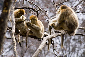 Group of Sichuan golden snub-nosed monkeys {Rhinopithecus roxellana} grooming in tree, Zhouzhe reserve, Qinling mountains, China, December 06, 'Wild China' series  -  Gavin Maxwell