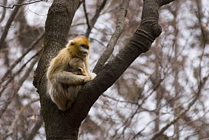 Sichuan golden snub-nosed monkey {Rhinopithecus roxellana} with baby, Zhouzhe reserve, Qinling mountains, December 06, China, 'Wild China' series  -  Gavin Maxwell