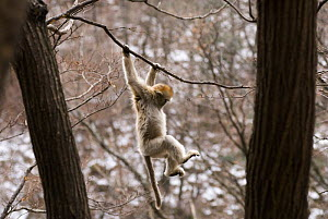 Sichuan golden snub-nosed monkey {Rhinopithecus roxellana} hanging off branch, Zhouzhe reserve, Qinling mountains, China, December 06, 'Wild China' series  -  Gavin Maxwell
