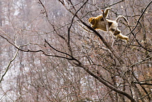 Sichuan golden snub-nosed monkey {Rhinopithecus roxellana} jumping between branches, sequence 1/3, Zhouzhe reserve, Qinling mountains, China, December 06, 'Wild China' series  -  Gavin Maxwell
