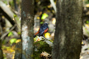 White capped redstart {Chaimarrornis leucocephalus} perching on rocks between trees, Juizhaigou national reserve, UNESCO world heritage site, Sichuan province, China, October 06, 'Wild China' series  -  Gavin Maxwell