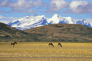 Tibetan wild asses / Kiang (Equus kiang) grazing, with snow-capped Himalayas in the background. Chang Tang, Western Tibet 2007  -  Gavin Maxwell