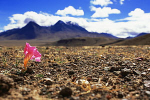 Red flower (Incarvillea mairei) endemic to Tibet, providing colour to the barren landscapes of the Tibetan Plateau. Chang Tang, Western Tibet 2007  -  Gavin Maxwell