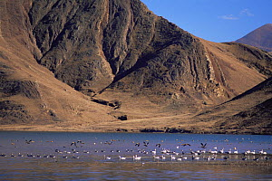 Bar headed geese (Anser indicus) on water, Yarlung Valley, Tibet 2007 2007  -  Gavin Maxwell