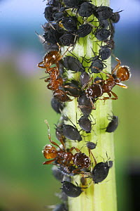 Red Ants (Myrmica rubra) collecting honeydew from Aphids on stem of Dock plant (Rumex sp) Surrey, UK  -  Kim Taylor