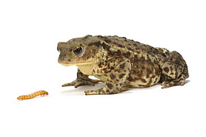 Common European Toad (Bufo bufo) female about to feed on mealworm, Captive, UK, sequence 1/3 - Kim Taylor